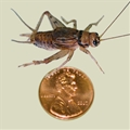 "Adult Live Crickets 1"" (1.0 inches)"
