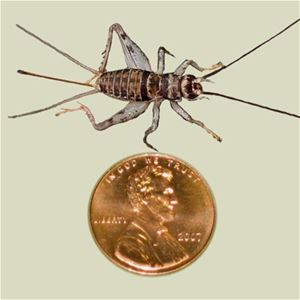 crickets for sale live crickets five eighths inch Ghann.com image