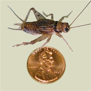 crickets for sale adult live crickets one inch Ghann.com image