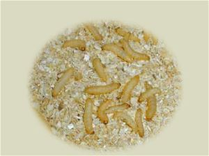 Wax Worms - Large